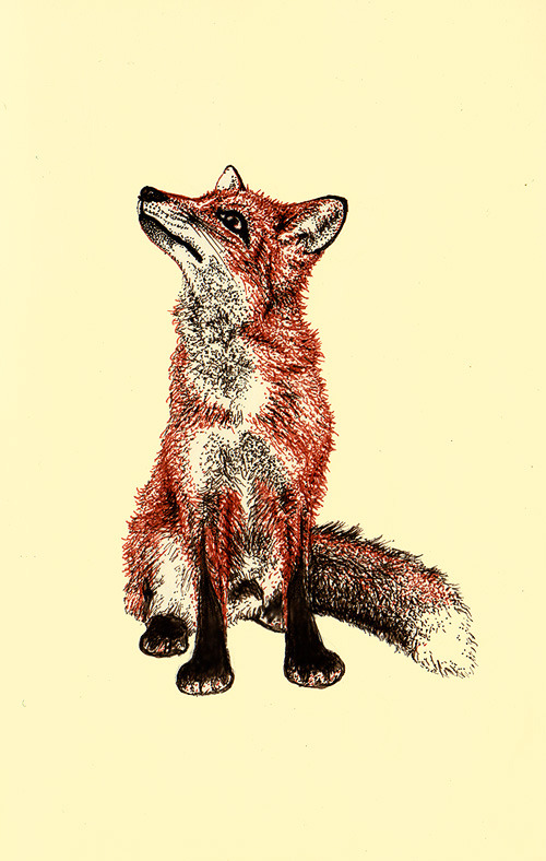 natalieillustrates:  Vulpes.Dark sepia and sanguine ink drawing.