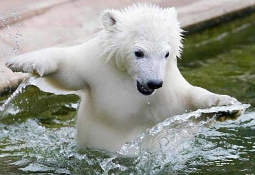 Polar Bear Cub, taking his first swim at Germany's Nuremberg Zoo. By:Happy Jack
