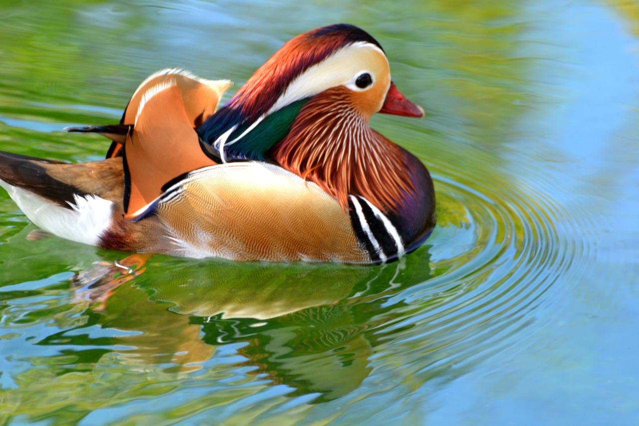 sdzoo:  Mandarin Wood Duck.