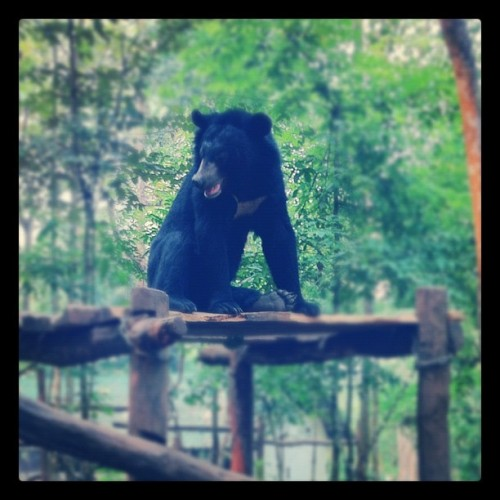 Went to a bear sanctuary. Saw this absolute bloke. #luangprabang #laos #bear #bears #thanksforsavingthemfromthechinese #black #asia #sea (Taken with instagram)