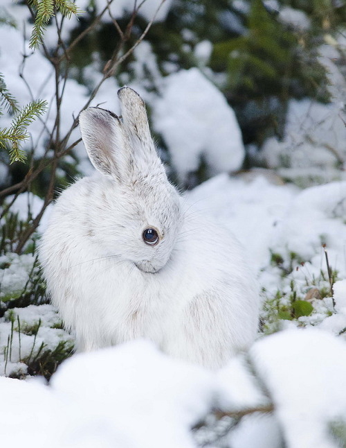 magicalnaturetour:  Snowshoe Hare by piccolo :)