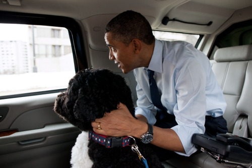 ihopebarackobama:  I hope Barack Obama originally adopts a dog just to make his daughters happy but ends up kind of falling in love with the fluffy thing.  Happy third anniversary, Bo.
