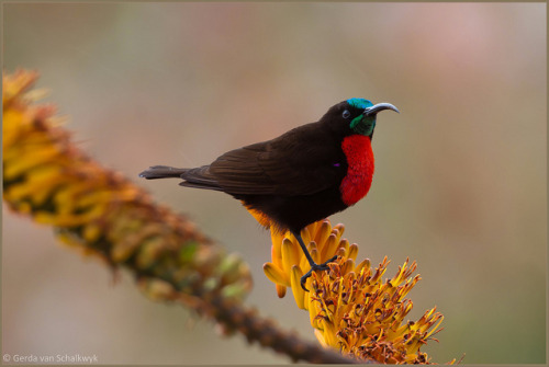 fairy-wren:  scarlet-chested sunbird (photo by gerdavs)