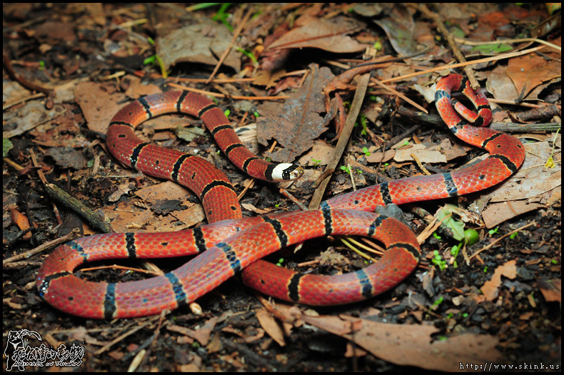 rhamphotheca:  環紋赤蛇 - MacClelland's Coral Snake (Sinomicrurus macclellandi), Taiwan - a species of Elapid snake found in South, SE, and East Asia, nocturnal, usually in habitats with treees and leaf litter, considered generally docile, feeds on small lizards and snakes. (photo: Skink Chen)