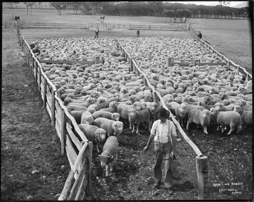 Drafting Sheep by Powerhouse Museum Collection on Flickr.