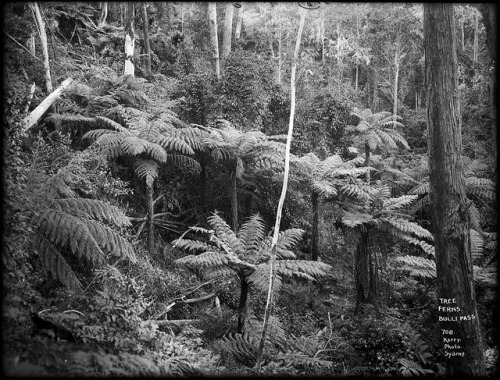 Tree Ferns, Bulli Pass by Powerhouse Museum Collection on Flickr.