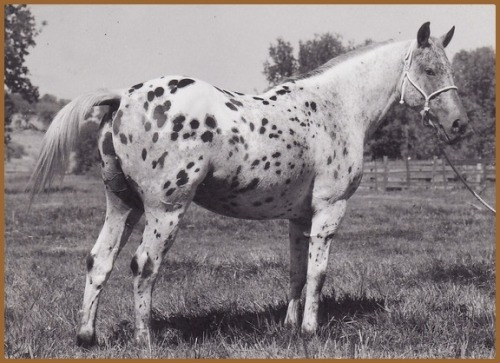 Crow - thought to be the first Appaloosa Stallion to finish the Tevis Cup*