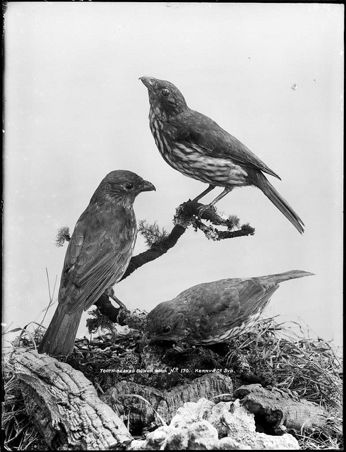 Tooth-Beaked Bower Birds by Powerhouse Museum Collection on Flickr.