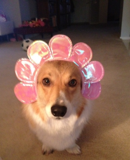 I am a corgi flower. Really? Spring indeed!