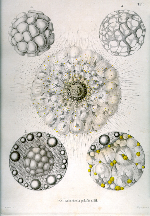 sadburro:  Thalassicola Pelagica Ernst Haeckel's illustrations for an 1862 book on amoebas.
