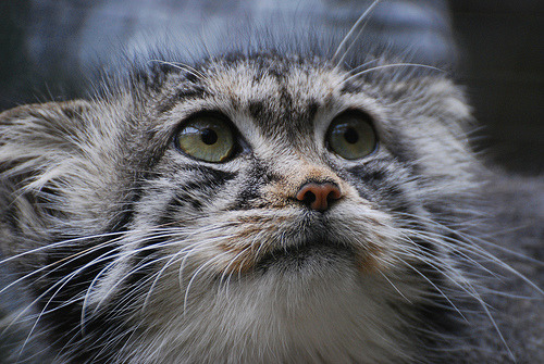 Manul or Pallas' cat (Otocolobus manul)A shot of the very beautiful and unusual cat, the manul or Pallas' cat. Their ears are perculiarly set low on the head, giving an almost fairytale appearance. (by Ungulate Dave)