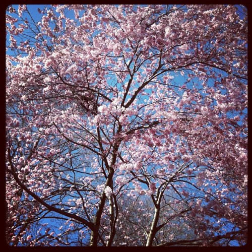 Cherry blossom tree @ Harvard University (Taken with instagram)