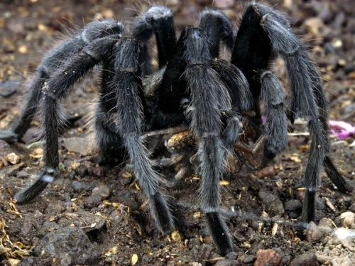 giraffe-in-a-tree:  Tarantula Feeding (on another spider) Photograph by Paul Zahl The tarantula's appearance is worse than its bite. Tarantula venom is weaker than that of a honeybee and, though painful, is virtually harmless to humans.  There are species of tarantulas that have very serious bites, but this does hold true for most species.