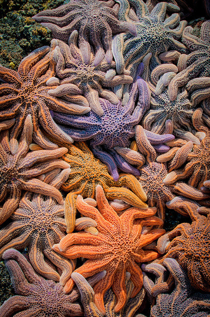 frumpytaco:  kingdom-of-animals:  colorful starfish by Zanthia on Flickr.  Stichaster australis, the New Zealand reef star, and one of my favorites.