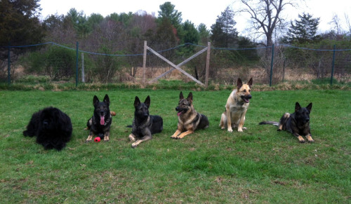 Saggio (second from right) with five of his trainer Kyle's dogs.