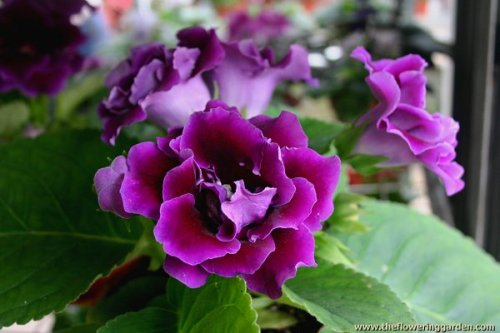 Gloxinia- Love at first sight
