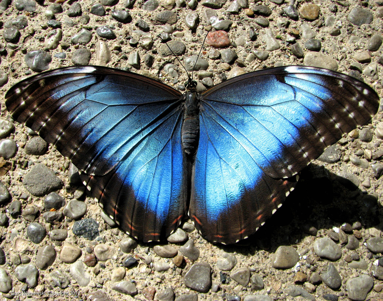 Blue morpho up close…. and up sooo much closer. Note each wing scale on the super macro shot!