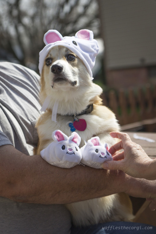 wafflesthecorgi:  You can thank Waffles grandmother for these Easter shenanigans. Vote for Waffles!  WHAT IS THIS RIDICULOUSLESSNESS!!!!!