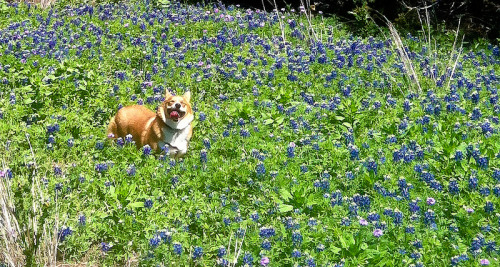 matt-wright: Texas is for corgis.