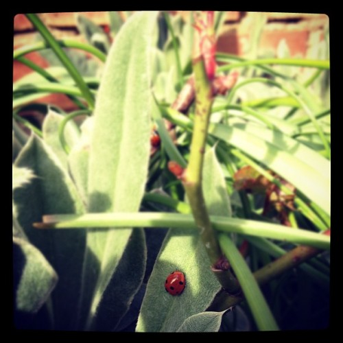 Ladybird :)  (Taken with instagram)