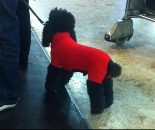 This is what you want to see at the airport. Poodle in a turtleneck!