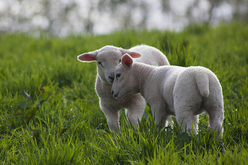Spring Lambs…..adorable!