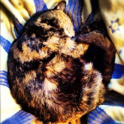 sleeping neko. #tortie #tortiseshellcat #cat #catsofinstagram #sweet #kitty #sleeping #igers #igmasters  (Taken with instagram)