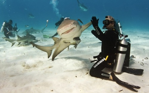 "minusmanhattan:  Shark High Five by Paul Spielvogel.  It's not everyday that we see a smiling shark give a scuba diver a high-five. Eli Martinez, editor of Shark Diver Magazine, was diving in the Caribbean Sea, off the Bahamas coast, when a laid-back lemon shark swam straight towards him before turning at the last second with her fin outstretched, connecting with his hand. ""At first she was swimming straight towards me, but I didn't expect her to turn at the last moment,"" said Martinez.""She tapped my palm with her fin like we were high-fiving. Luckily my friend who owns an underwater camera captured it all on film for me to show the grand kids."""