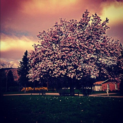 Loving this #tree being back in #blossom #iphonedaily #iphoneonly #ighub #instahub #instagram #dopefam #kusharmy #iphonesia (Taken with instagram)
