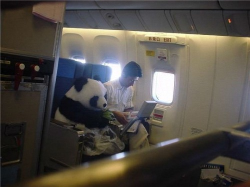 "rockinrobinrose:  ""Panda on the way to the zoo in Edinburgh.""   Stop."