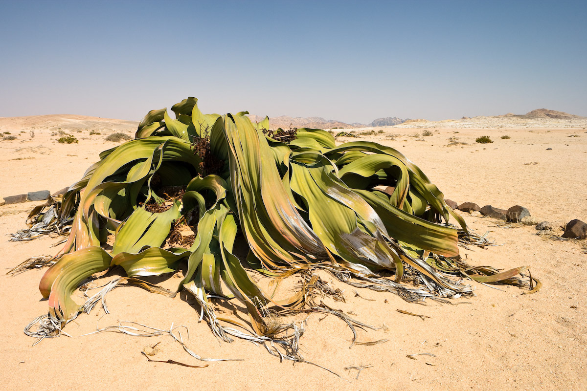 This is Welwitschia mirablis, the only member of the Welwitschiaceae family. It is found only in Namibia and Angola, in the Namib desert.What makes this rather unattractive plant special? First, they are extremely long-lived. It's thought that some specimens might be over 2000 years old. Second, they absorb the bulk of their water from fog. Specimens have special structures on their leaves which allow them to absorb moisture from desert morning fogs.