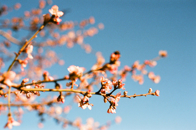 Almond blossoms! by dkilim on Flickr.