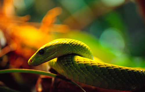 giraffe-in-a-tree:  Western green Mamba by Sven T. on Flickr.