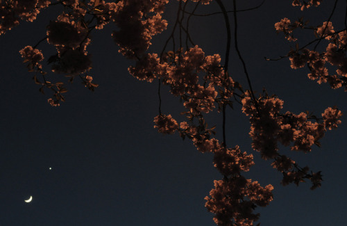 Moon, Venus, and cherry blossom.Glasgow Green, Glasgow