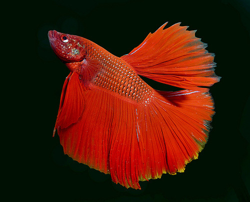 Betta | Betta splendens by Ángel Febrero)