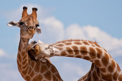 You know when giraffes do this, they're fighting, right? They're not hugging!