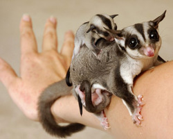 giraffe-in-a-tree:  Sugar Glider with her baby. Photo by sugargliderpetshop