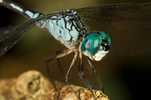 insectlove:  earthly-fauna: Unknown Odonata by Seth Patterson on Flickr.
