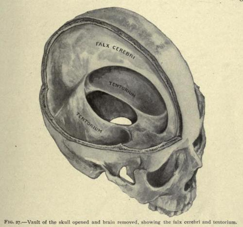 biomedicalephemera:  Vault of the Skull Opened, Showing the Falx Cerebri and Tentorum The falx cerebri is a strongly-arched section of dura mater which separates the two hemispheres of the brain. Combined with the tentorum ceribelli, it supports and separates the primary sections of the brain (cerebellum, right cerebrum, and left cerebrum). The large open section in the center of the meningeal conjugation is where the corpus callosum passes from one hemisphere of the brain to another. Applied Anatomy. Gwilym Davis, translated by Erwin Faber, 1910.