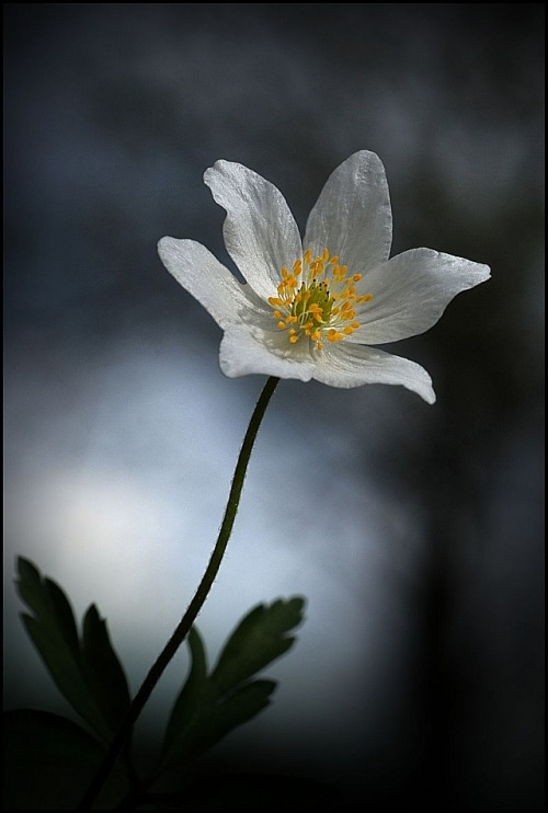 elinka:  Anemone from Vacikov, Bohemia By Mirek Firman