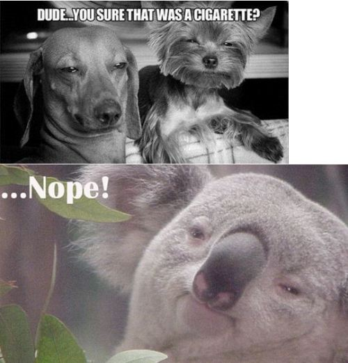 LOl just the Koala ahah
