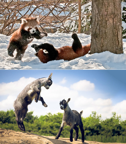 Who has the cuter jump attack? Red Panda OR Baby Goat