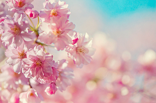 oh-sayitaintso:  A cloud of cherry blossoms caressing the sky (by pixelmama)