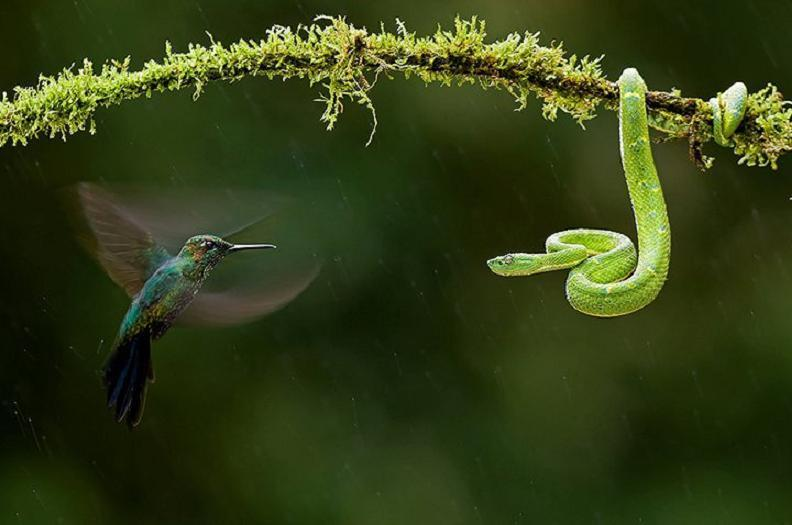 hummingbird and arboreal viper, Costa Rica. By Bence Mate - seen at Caja Mediterrneo, flickr.com