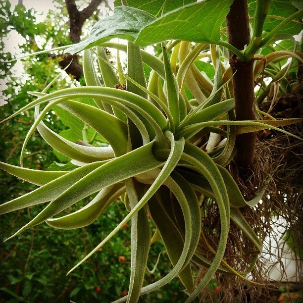 plantingart:  Tillandsia cacticola on our brown turkey fig (Taken with instagram)