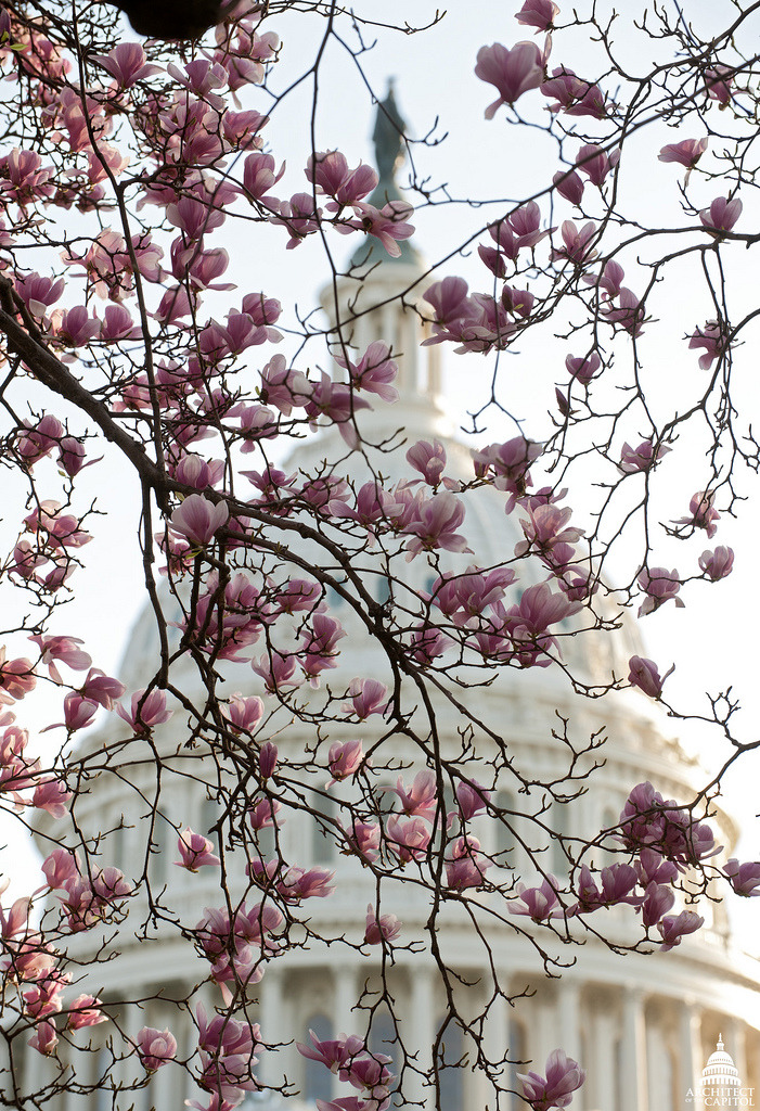 usagov:  It's spring! The magnolias are in bloom on the Capitol grounds. Photo by the Architect of the Capitol  ~reblogged by Trent Gilliss, senior editor