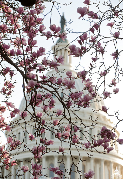 usagov:  Image description: It's spring! The magnolias are in bloom on the Capitol grounds. Photo by the Architect of the Capitol