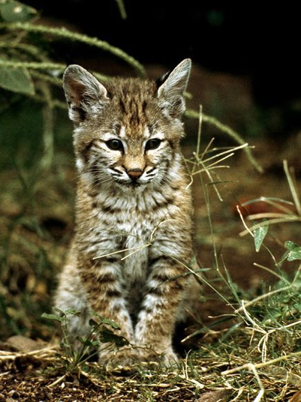 funnywildlife:  Bobcat Kitten in the Wild!!  by Hope Ryden