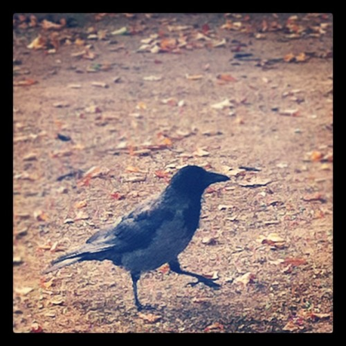 day 24 | an animal #marchphotoaday @fatmumslim #marchphotochallenge #animal #day23 #crow #raven #bird (Taken with instagram)