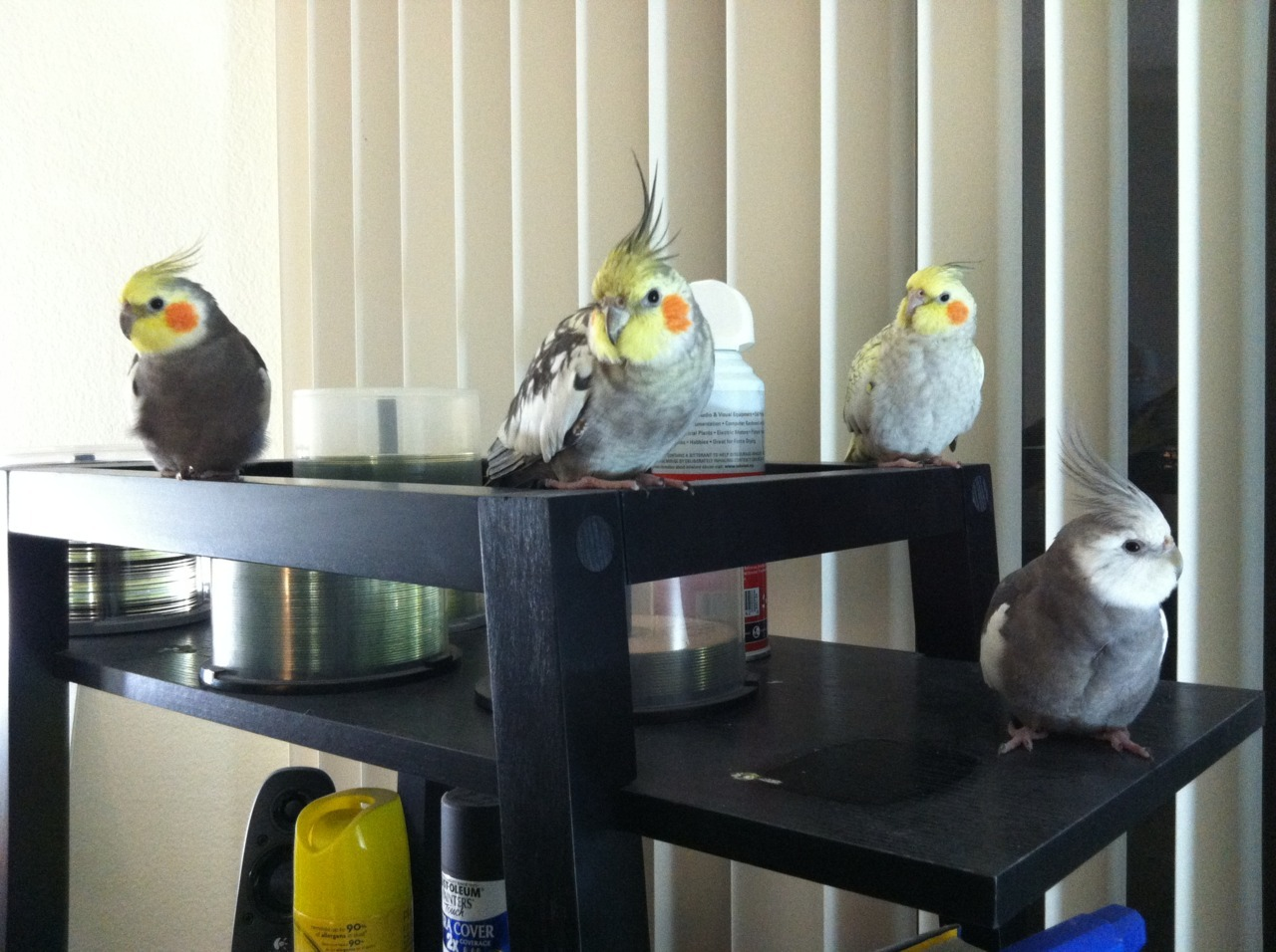 fat-birds:  Laura: The whole gang.  From left, Em, Layton, Katie, and Ein. I want a gang of cockatiels. :')